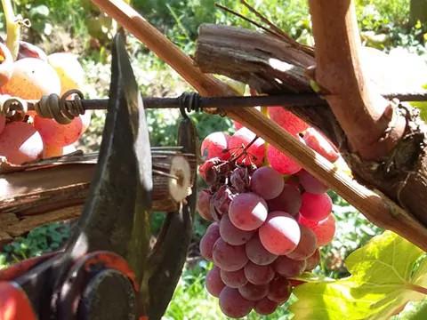 Cépage pinot noir pour faire du vin rouge, près de Colmar